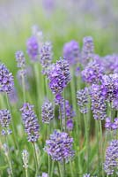 Lavandula angustifolia Miss Muffet, syn. 'Schlomis', English lavender, forms a dwarf evergreen shrub with violet blue flowers from June.