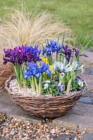 Reticulata irises planted with violas in basket, flowering in winter. From front left clockwise: blue 'Lady Beatrix Stanley', plum coloured 'George', gentian blue 'Harmony', indigo blue  'Palm Springs', purple 'Pauline', light blue and yellow 'Katharine Hodgkin. In the middle, yellow Iris danfordiae.