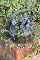 Antique copper kettle planted with lesser periwinkle, Vinca minor 'Argenteovariegata'. Flowering in March.