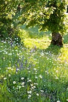 Wildflower meadow in May: Knautia arvensis - Field Scabious, Salvia pratensis - Meadow Clary, Leucanthemum vulgare.
