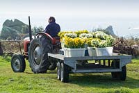 Cut scented narcissi loaded on the back of a tractor on St. Agnes, Isles of Scilly
