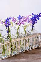 Hyacinthoides hispanica - Spanish bluebells arranged in glass bottles