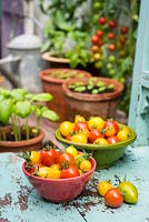 Tomatoes, Solanum lycopersicum, 'Suncherry Smile' and 'Tumbling Tom Yellow' with pots of Sweet Basil Seedlings.