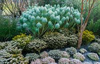 Frost covered Heathers and Euphorbia on the winter walk. RHS Garden Harlow Carr