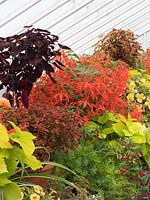 Greenhouse combination of orange begonias with lime and purple leaved coleus