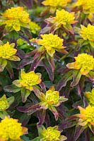 Euphorbia epithymoides 'Bonfire' - Spurge Cushion