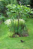 Young quince tree in island bed with blackbird on lawn and white flowers