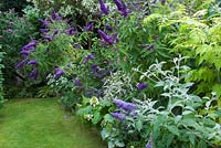 Border with flowering purple buddlejas