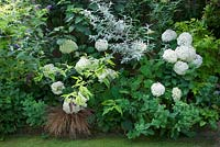 Hydrangea arborescens 'Annabelle' in shady border with shrubs
