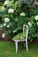 Hydrangea arborescens 'Annabelle' in border with planted white seat