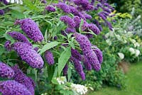 Buddleja davidii 'Dartmoor' in garden border