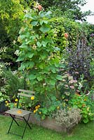 Runner beans 'Sunset' in veg bed with painted green chair