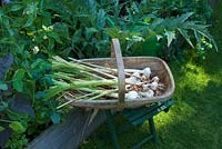 Harvested garlic in wooden trug