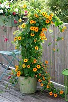 Thunbergia alata 'New Orange' in metal tub