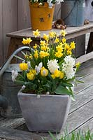 Spring container with Narcissus 'Tete a Tete' and Tulipa 'Calimero'