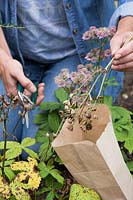 Woman cutting Astrantia major seed heads