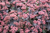 Sedum 'Xenox' flowering in August