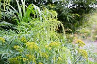 Datisca cannabina and Bupleurum fruticosum flowering in August - False Hemp, Shrubby Hare's Ear