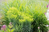 Solidago 'Loysder Crown' and Miscanthus sinensis 'Strictus'