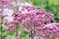 Eupatorium purpureum 'Purple Bush' with bee flowering in August
