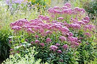 Eupatorium purpureum 'Purple Bush' flowering in August