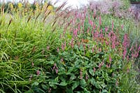 Miscanthus transmorrisonensis 'Golden Form' and Persicaria amplexicaulis 'October Pink'