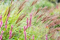 Miscanthus transmoriensis 'Golden' form and pink flowers of Persicaria amplexicaulis 'October Pink'