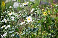 Anemone x hybrida 'Coupe d'Argent' flowering in August - Japanese Anemone