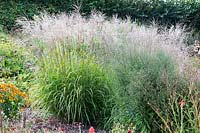 Miscanthus transmoriensis flowering in a mixed prairie style border