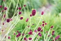 Sanguisorba officinalis 'Martin's Mulberry' - Great burnet