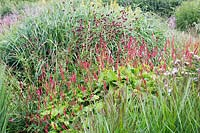Persicaria amplexicaulis 'Firedance', Sanguisorba tenuifolia 'Bordeaux' with mixed ornamental grasses flowering in a border