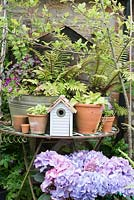 Table full of spring flowering Auriculas, Ferns, bird house and Hydrangea