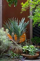 A specimen plant, Aloe pilicatilis, Fan Aloe growing in a repurposed metal concrete mixer, with fleshy silver green leaves, in front of a rusty corten steel screen surrounded by a collection potted succulents.