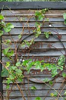 Rusty garden sign ornament mounted onto a recycled timber wall with Vitis vinifera, Grape Vine growing through it.