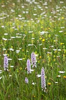 Dactylorhiza fuchsii - Common Spotted Orchid , Leucanthemum vulgare - Ox-eye Daisy,Rhinanthus minor - Yellow Rattle and Ranunculus acris - Meadow Buttercup