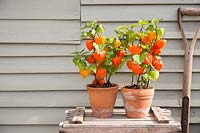 Physalis alkekengi in terracotta pots