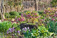 Woodland border in spring with Helleborus orientalis, Crocus vernus and daffodils.