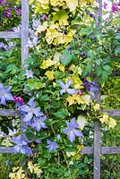 Clematis and Hedera 'Buttercup' growing on trellis - C. 'Blue Angel', 'Etoile Rose' and 'Mary Rose'