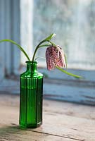 Fritillaria meleagris in small green vintage jar