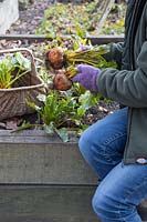 Woman harvesting Beetroot 'Burpees Gold' in Autumn