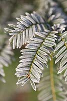 Frost on evergreen shrub