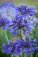 Agapanthus 'Midnight Blue' syn. A. 'Navy Blue'. African lily