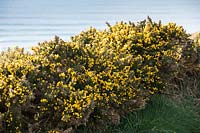 Ulex europaeus - Common Gorse growing on cliffs in Cornwall.