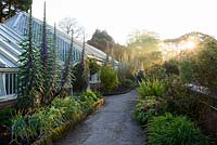 Spikes of tall Echium pininana beside a greenhouse  at Tregrehan Gardens