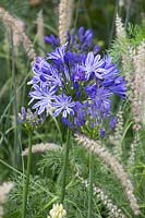 Agapanthus africanus 'Midnight Star' with Pennisetum orientale 'Tall Tails'