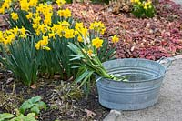 Zinc tub with clippings of Daffodils