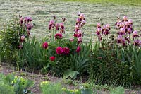 Mix of vegetables and a perennial border with bearded iris and peonies in a country garden in the background, the freshly cut grass of a meadow, Iris barbata, Paeonia, Aquilegia vulgaris