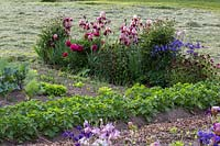 In a rural garden, a vegetable patch with potatoes and perennials with Iris barbata, Aquilegia vulgaris, Dianthus barbatus and Peonies that mark the border to the meadow
