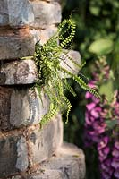 Fern Asplenium Trichomanes growing on old brick wall. Romance in the Ruins, BBC Gardeners World Live Flower Show 2017