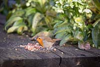 Robin feeding on crushed peanuts